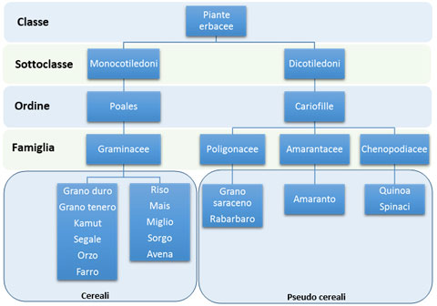 schema botanico dei cereali