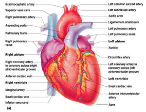malattie_cardiovascolari