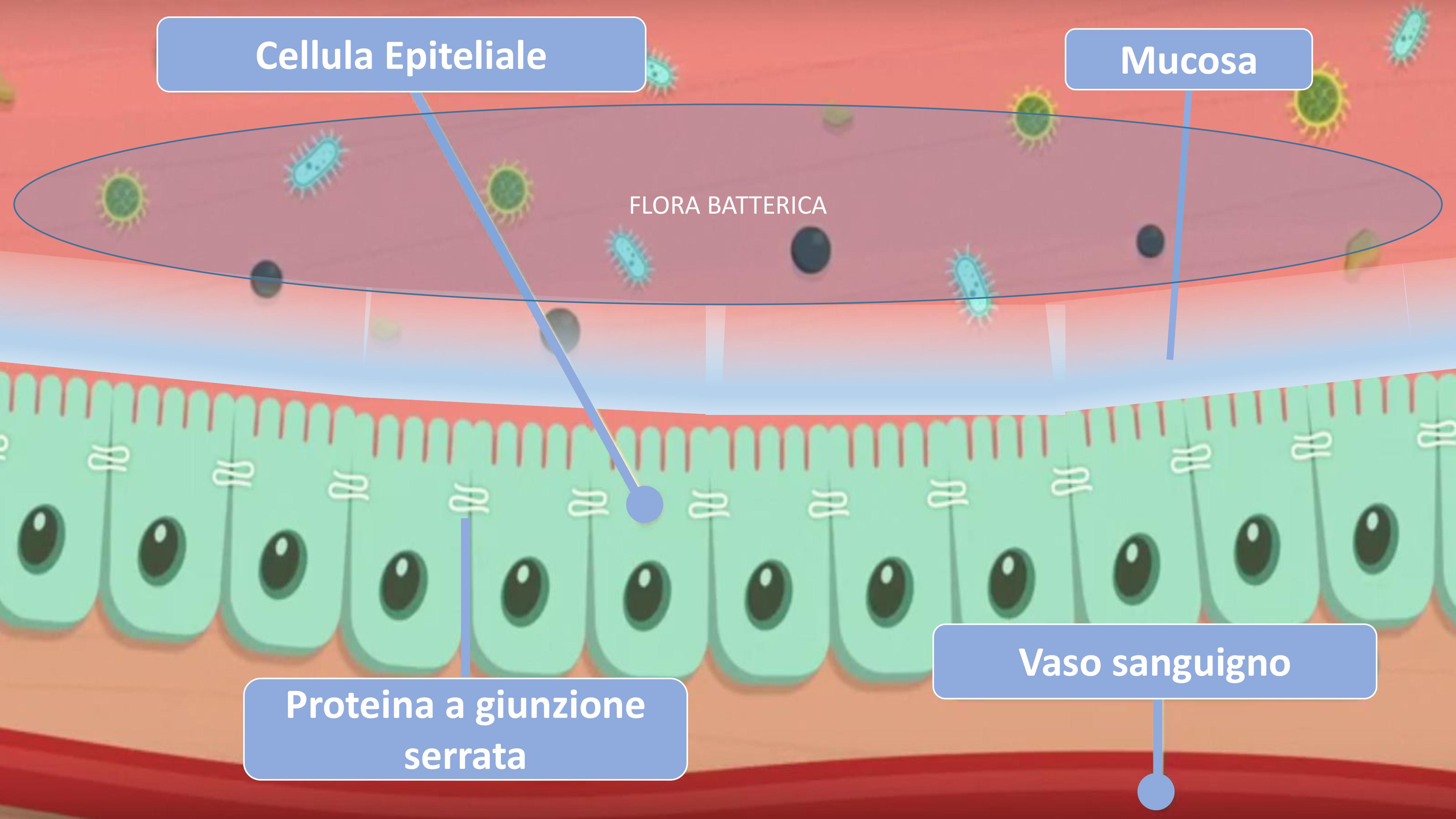rappresentazione permeabilità intestinale